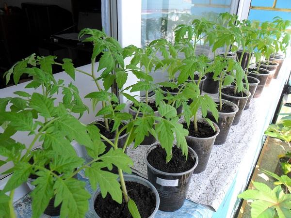 Как вырастить хорошую рассаду томатов в домашних условиях
